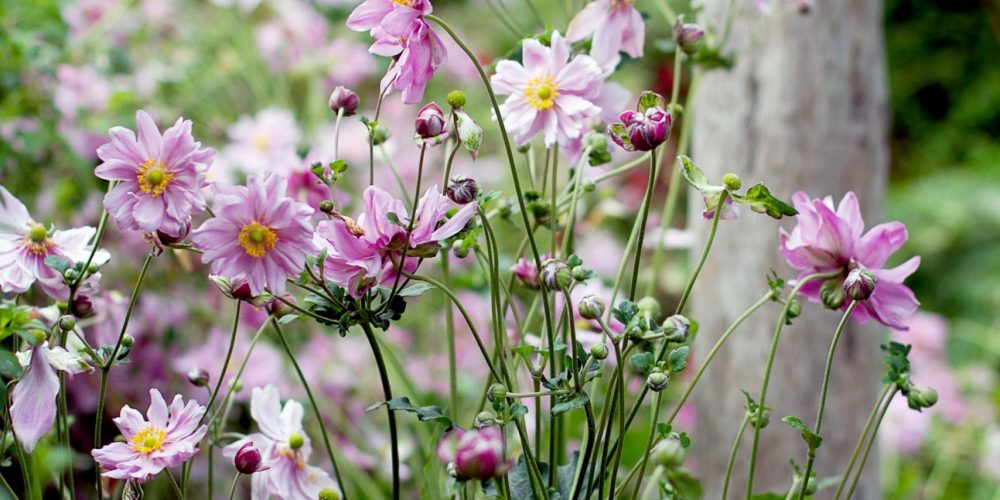 Studio-31-Pink-Fall-Blooming-Anemones